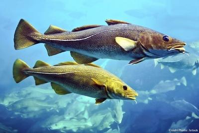 cabillaud-morue-poisson